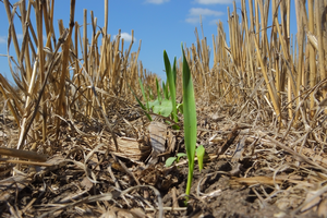 Learn about planting cover crops after wheat on the July 30 Field Crops Virtual Breakfast