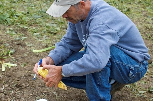 A farmer kneeling in a field studying an ear of corn.