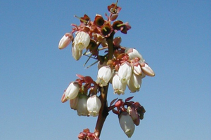 Annual growth cycle of northern highbush blueberry