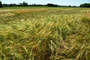Learn the ins and outs of Michigan malting barley at June 27 Thumb region field day
