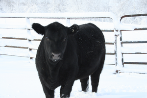 Top four strategies for keeping your 4-H animal projects healthy in cold weather
