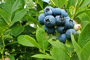 Southwest Michigan fruit update – July 28, 2020