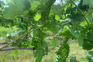 Michigan grape scouting report – July 8, 2020