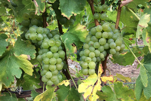 Photo 1. Sauvignon Blanc grapes approaching harvest fruit maturity in north-central Leelanau Peninsula on Oct. 2017. All photos by Thomas Todaro, MSU Extension.