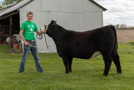 Young man leading his 4-H beef heifer project.