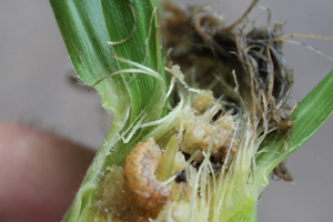 WBC larva on corn