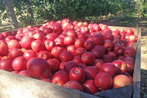 Predicted 2019 apple harvest dates
