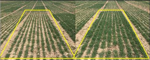 Wheat plots