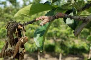 West central Michigan tree fruit update – June 18, 2019