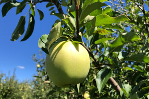 East Michigan apple maturity report – Sept. 9, 2020