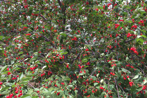 Ripening tart cherries are just one of the many fruits grown in Michigan that are vulnerable to spotted wing Drosophila infestation if not protected.