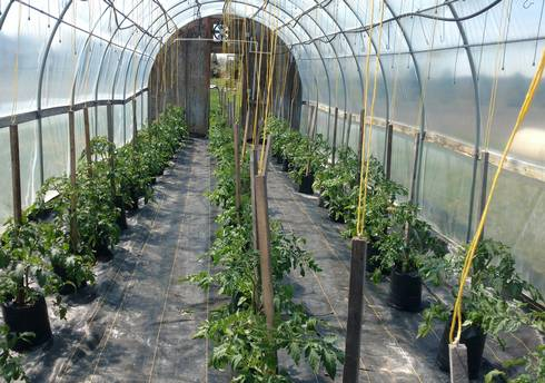 A bag-culture tomato house in Birch Run looking good. The yellow strings from the ceiling are tied to the trellis posts to keep the top-heavy bags upright. Photo by Ben Phillips, MSU Extension.