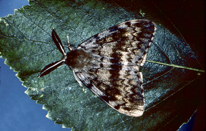 Gypsy moth populations explode in Michigan