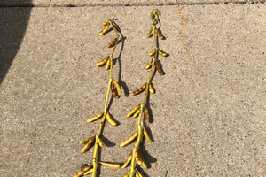 Predicting when Michigan soybean fields will reach physiological maturity