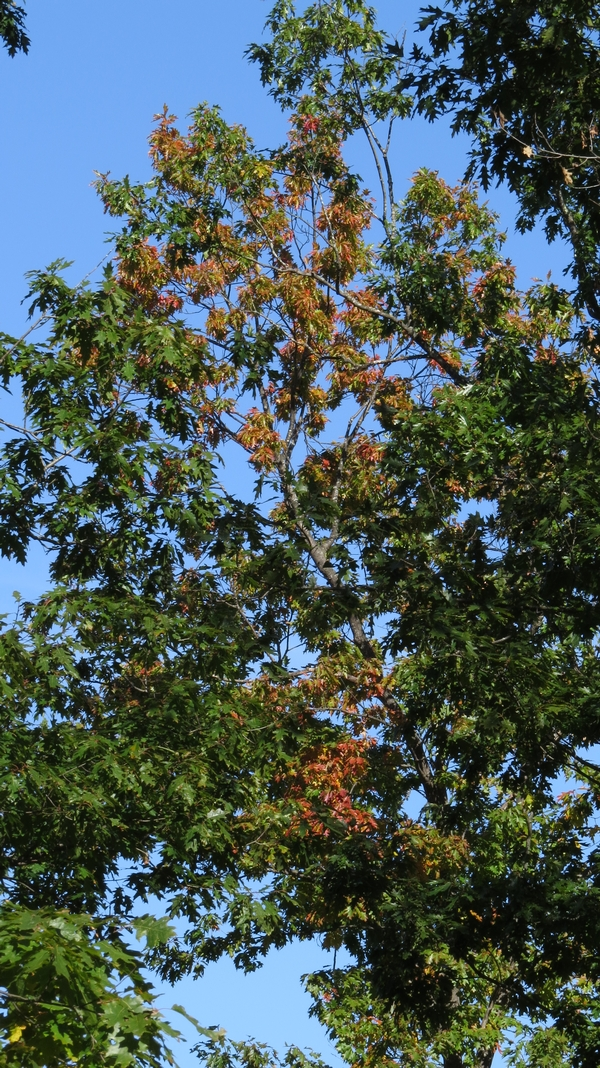Wilting oak leaves with early onset of the disease.