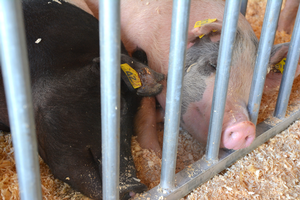 Two pigs lying in shavings at a county fair.