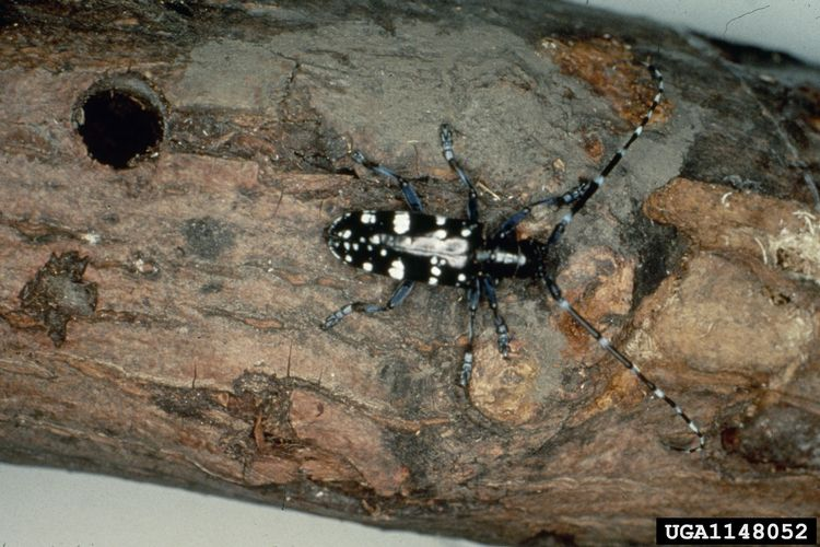 The Asian longhorned beetle has not been identified in Michigan. Photo credit: Kenneth R. Law, USDA APHIS PPQ, Bugwood.org l MSU Extension