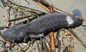 Researchers are asking for your help collecting deceased Mudpuppies in Michigan