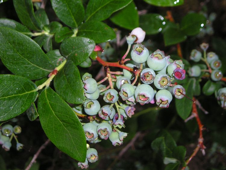After bloom, the young, actively growing berries are susceptible to anthracnose and other fruit rots if they are wet for long periods during rain or irrigation. Fungicides can also protect the new shoots and leaves. Photo by Mark Longstroth, MSU Extension.