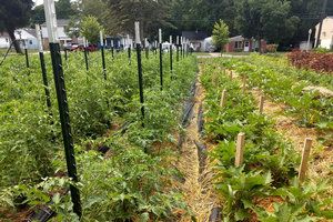 East Michigan vegetable update – July 22, 2020