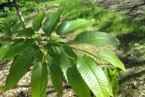 Actively growing terminal chestnut shoot