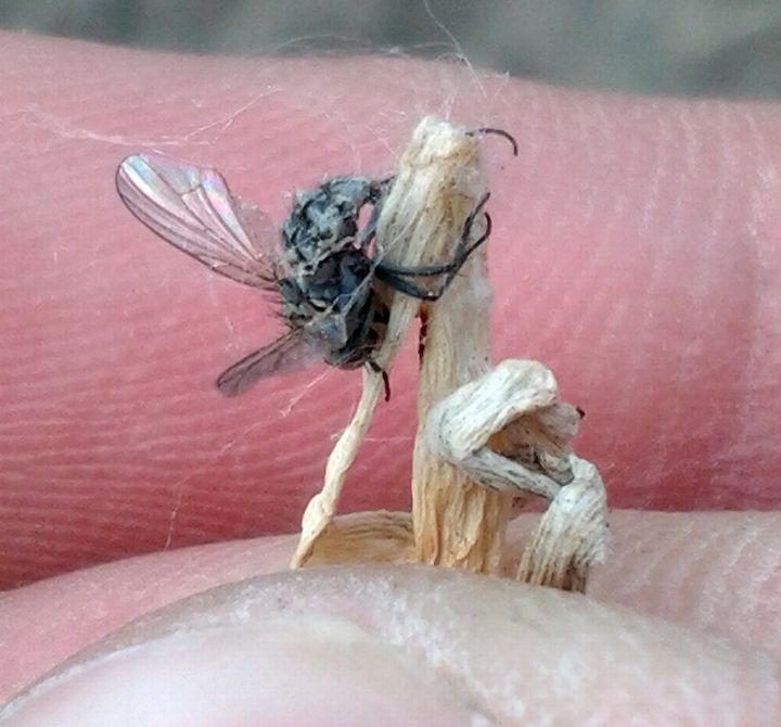 This root maggot fly in a Bay area onion patch is being used as a host by a naturally occurring fungus.