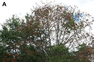 National Invasive Species Awareness Week: Oak wilt