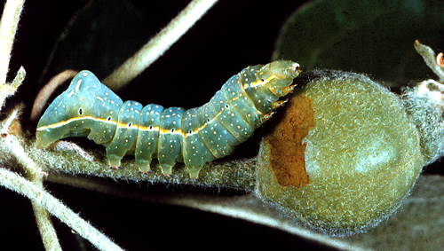 Larva is apple green, often with a milky overcast, and has a pronounced rear hump.