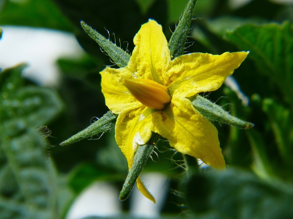 Are Bumble Bees Causing My Tomato Flowers To Fall Off