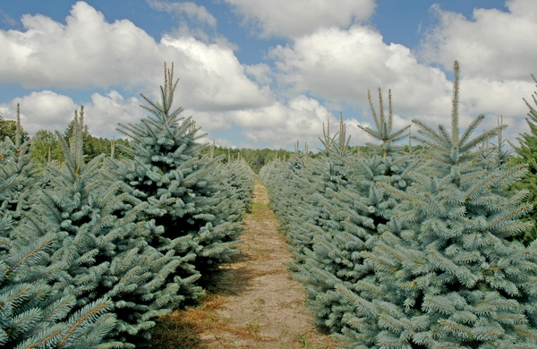 Christmas tree research webinar series starts January 30