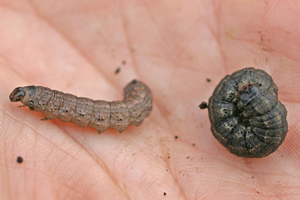 Black cutworm larvae feed at night and hide during the day. Digging at the base of seedling that has been fed on can help you find the culprit. Larvae are smooth and dark. Photo by Roger Schmidt, University of Wisconsin-Madison, Bugwood.org.