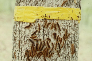 Barrier band for gypsy moth larva control. Photo by Pennsylvania Department of Conservation and Natural Resources - Forestry, Bugwood.org.