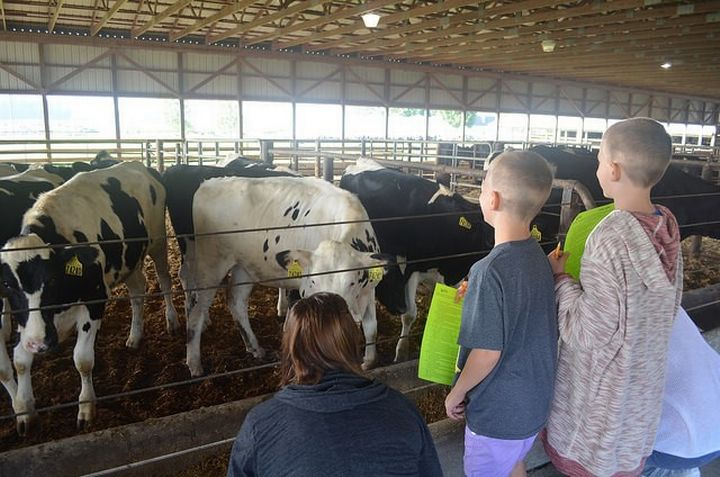 People looking at cows.
