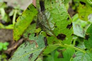 Potato leaves exhibiting early and late blight symptoms