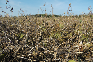 Recommendations for planting soybeans after soybeans
