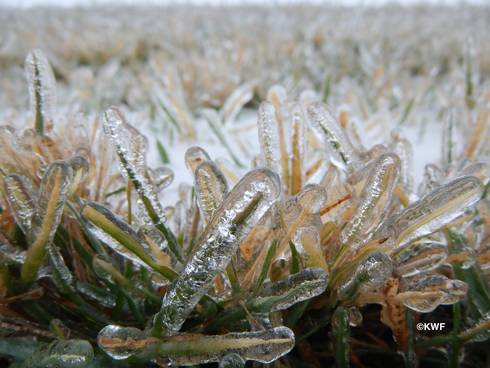 Tall fescue encased in ice. Photo: Kevin Frank, MSU