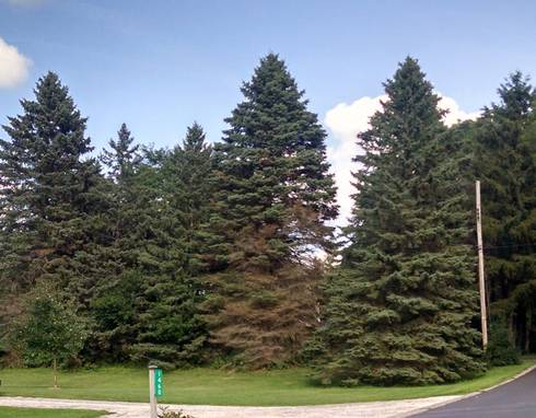 Declining Spruce Trees Photo Credit Bert Cregg Msu