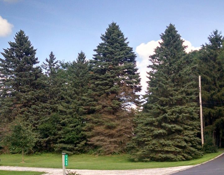 Declining spruce trees