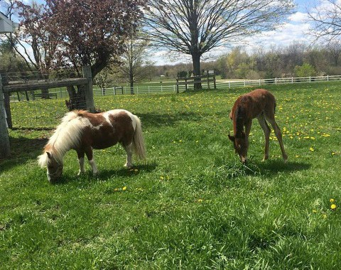 Uncle Bentley, a gelded miniature horse, is stepping in to help the orphaned foal with her behavior development. Photo by Paige Bittner.