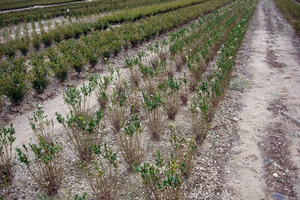 Field-grown nursery plants