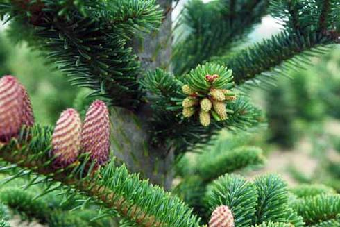 Pollen cones (right side) in conifers are small and often go unnoticed. Photo by Bert Cregg, MSU.