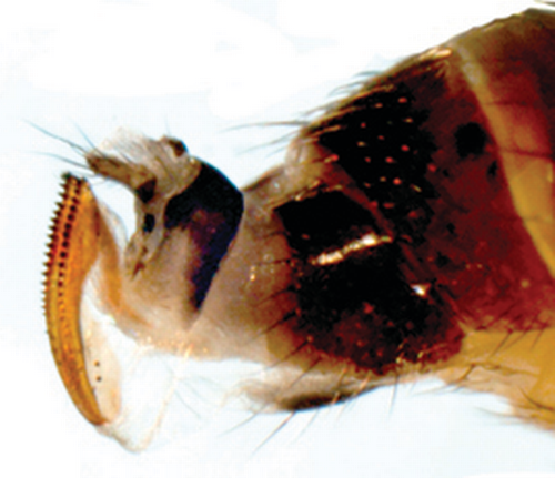 Spotted wing Drosophila females have a distinctive serrated ovipositor.