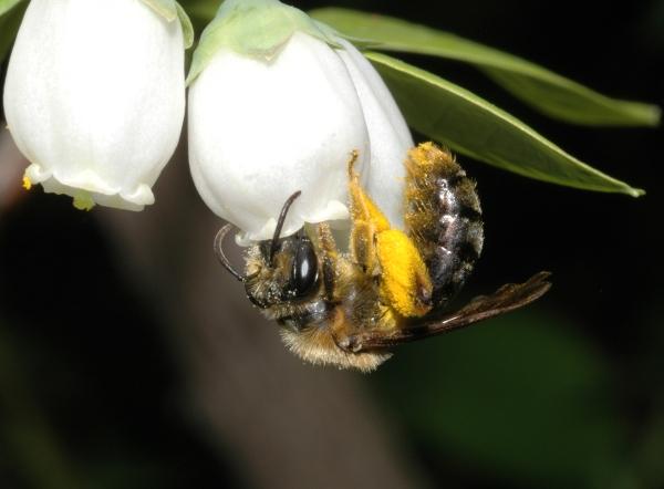 Ashley Bennett authors article on pollinator response to bioenergy