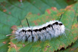 Fuzzy fall visitors: Caterpillars that attract attention and could cause needless concern