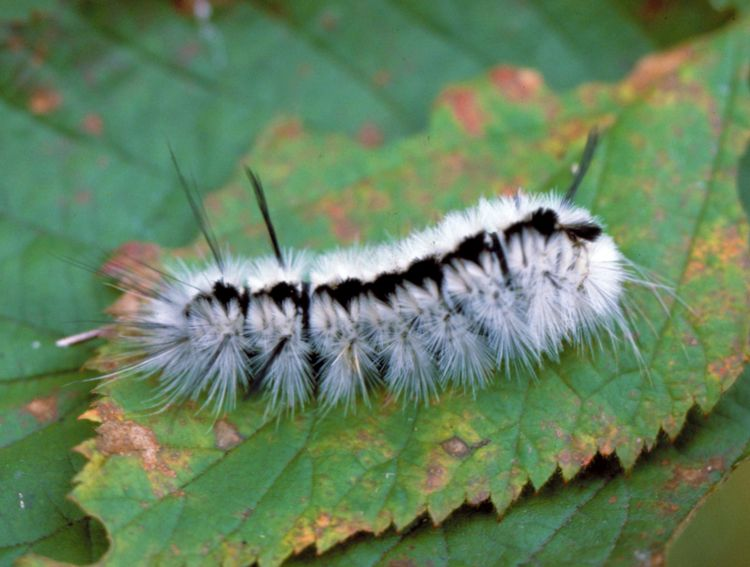 Fuzzy Fall Visitors Caterpillars That Attract Attention And Could Cause Needless Concern Gardening In Michigan