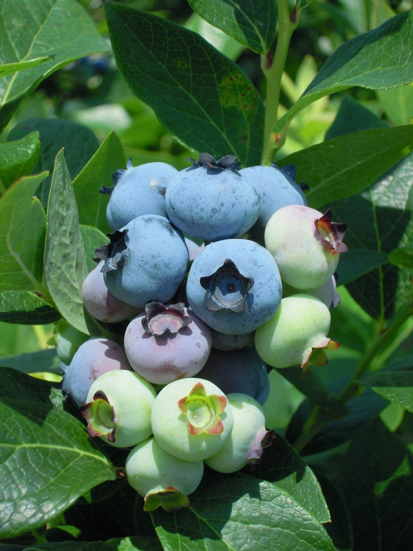 Blueberry fruit cluster just before the first harvest of berries. Photo: Mark Longstroth, MSU Extension.