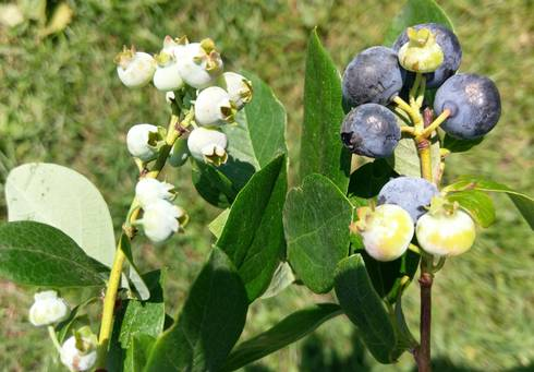Blueberries at harvest display poor pollination.