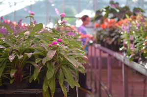 Resources for greenhouse growers, florists and retailers during the COVID-19 pandemic