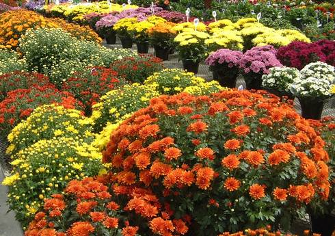 Chrysanthemums in flower at desired heights for their container sizes.