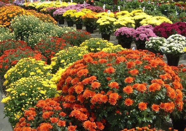 Increasing chrysanthemum height - MSU Extension